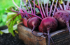 Everything You Need to Know About Beets