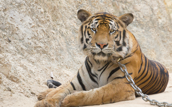 Chained Tiger