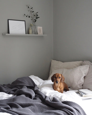 Sausage dog in unmade bed