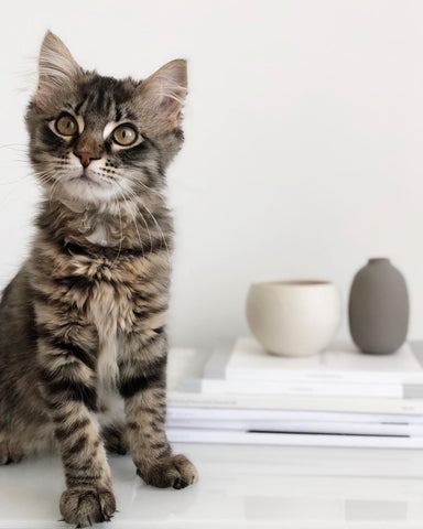 Tabby cat with books and vases