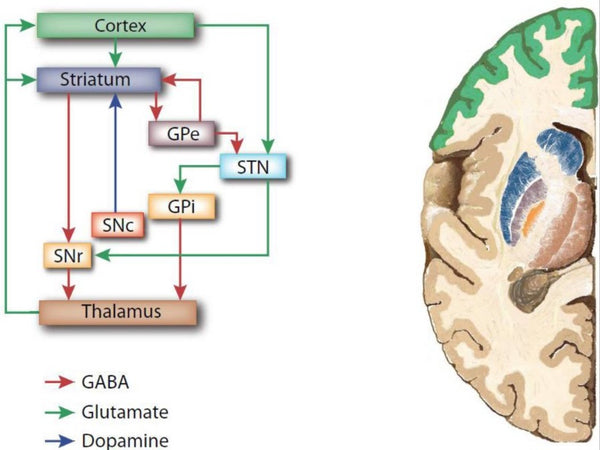 Figure 1 The CSTC circuitry implicated in OCD - HealthMasters