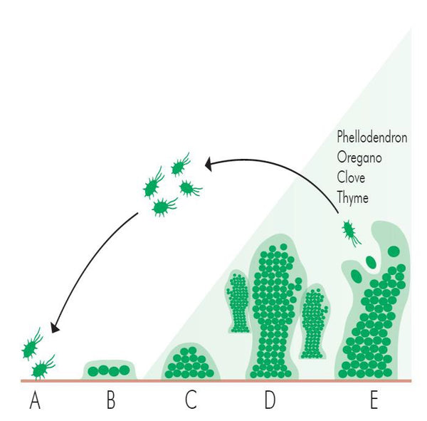 Figure 1 The stages of biofilm development