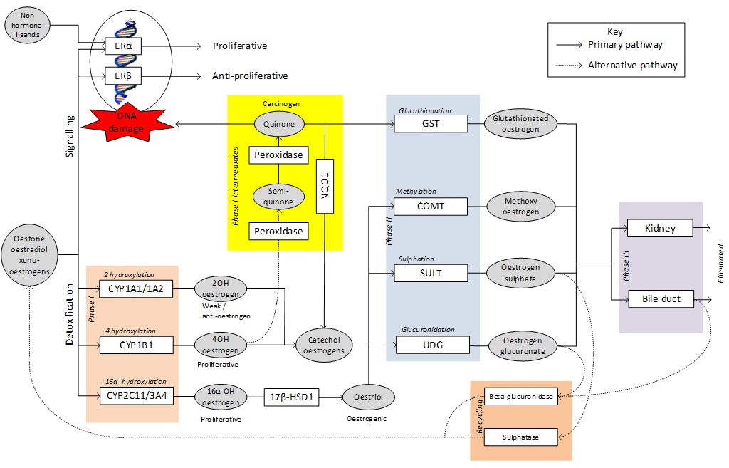 Figure 2 Oestrogen detoxification pathways at HealthMasters Support – Breast Protocol
