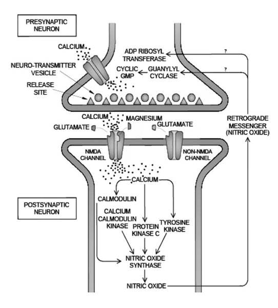 Metagenics CalmX Figure 4: The role of magnesium in regulating calcium ion flow and neurotransmission.