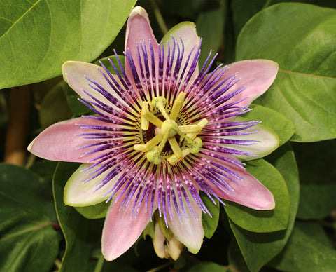 Metagenics NeuroCalm contains passionflower | HealthMasters