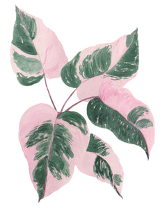 NEW Philodendron Pink Princess Plant W/ Pink & Green Variegated Leaves -Giclee Art Print- Botanical Collection