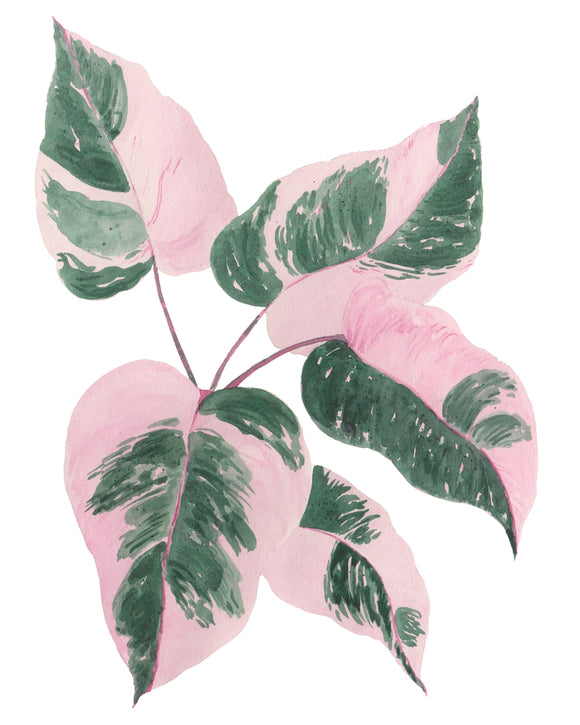 NEW Philodendron Pink Princess Plant W/ Pink & Green Variegated Leaves -Limited Edition  Giclee Art Print- Botanical Collection