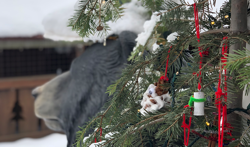 Bucky the Bear in Truckee, CA snow and Christmas ornaments