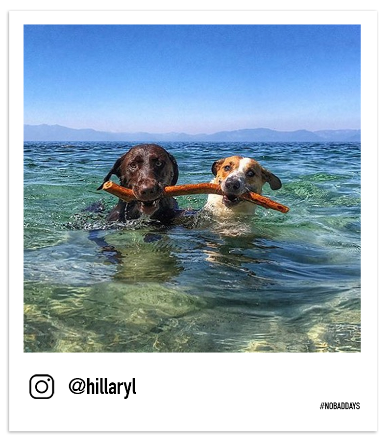 Dogs paddling in Tahoe with a stick