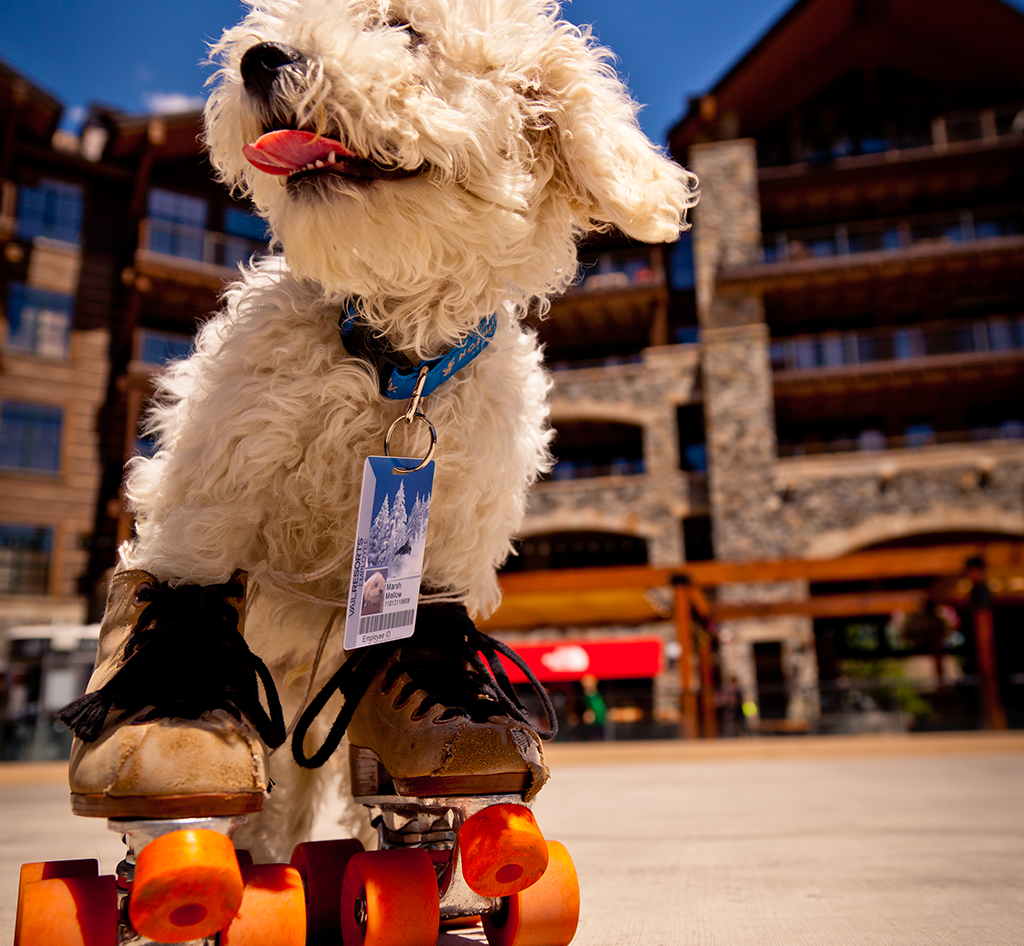 Dog on roller skates at Northstar