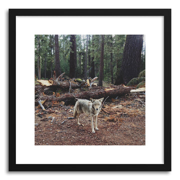 Fine art print Injured Coyote by artist Kevin Russ