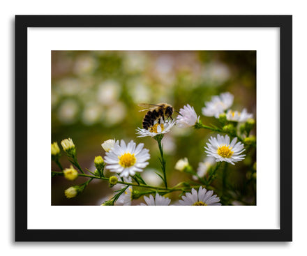 Fine art print Bee Daises by artist Wes Lewis