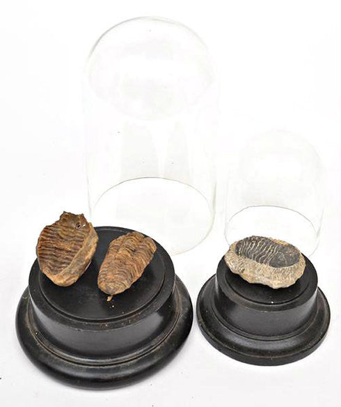 A Series of Fossilised Beetles with Domes.