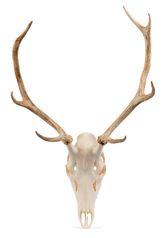 A large unmounted red deer buck skull and attached antlers