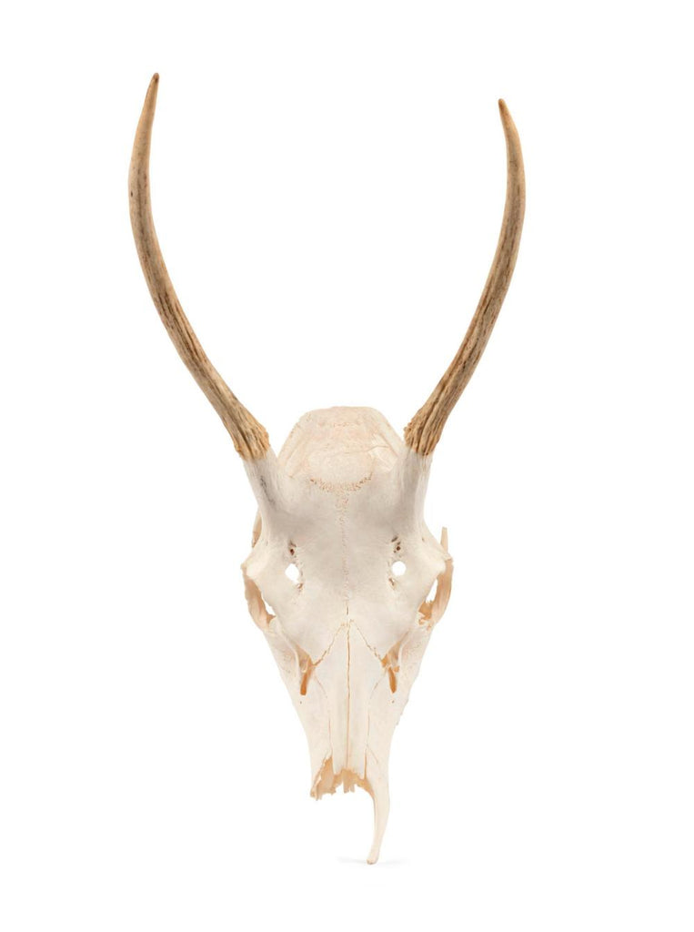Description: An unmounted deer skull and antlers