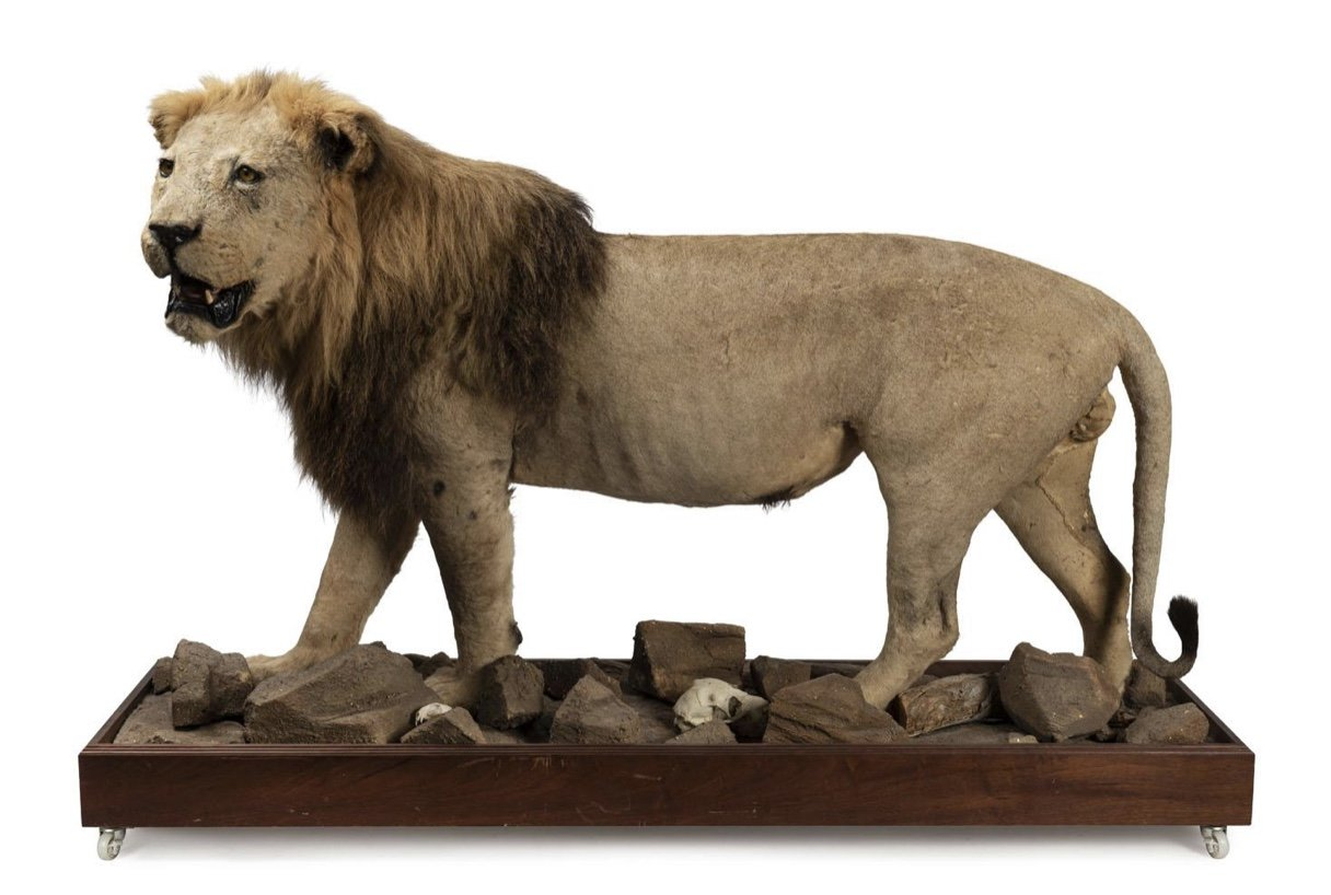 A Full African Lion Mount, Early 20th Century