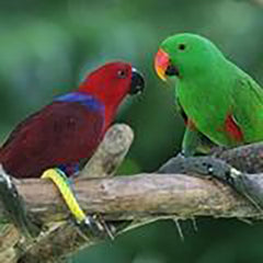 Eclectus and Hawk-Headed Parrot