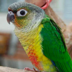 Conures and Caiques