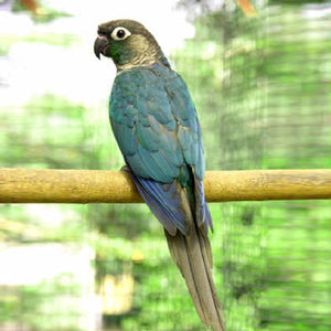 Green Cheek Turquoise Conure Parrot