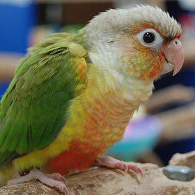 Pineapple Green Cheek Conure Parrot