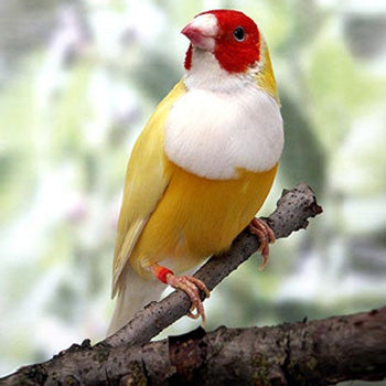 Yellow Gouldian Finch