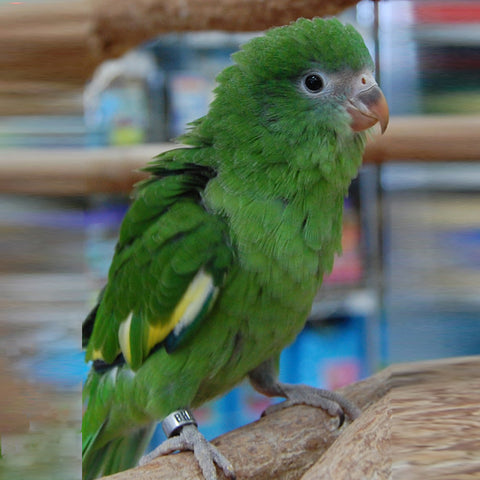 PARAKEET-CANARY-WINGED