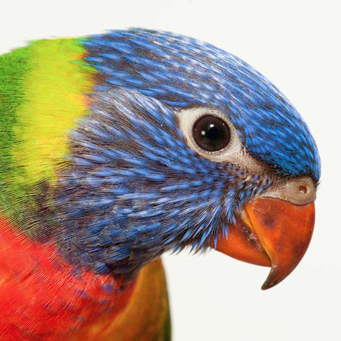 Blue Mountain Lory