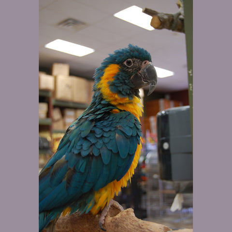 Caninde Macaw or Blue Throated Macaw