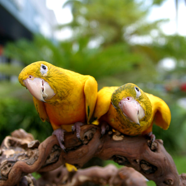 Golden Conure or Queen of Bavaria Conure