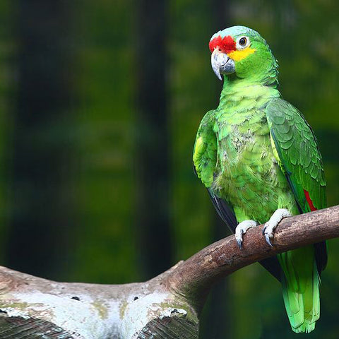 Red-Lored Amazon Parrot