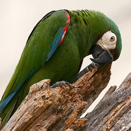 Severe Macaw