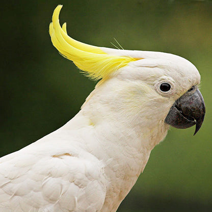 Sulfer Crested Cockatoo