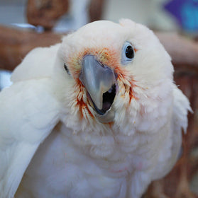 Goffin's Cockatoo Parrot