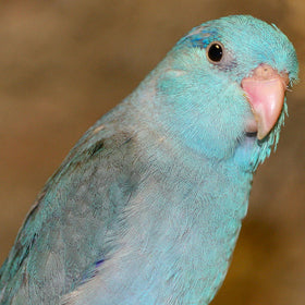 PARROTLET-PACIFIC BLUE