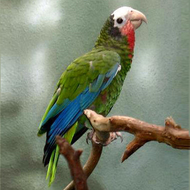 Cuban Amazon Parrot