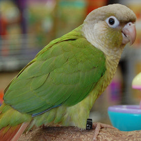 Cinnamon Green Cheek Conure