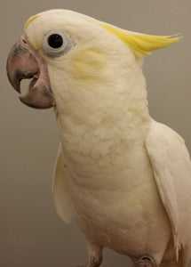 Lesser Cockatoo
