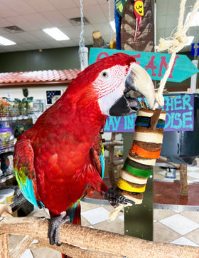 Birds LOVE Medium Whoopie Wood Kabob for Parrots for Cage or Playgym, Foraging and Chewing