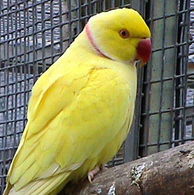 Lutino Indian Ringneck Parakeet