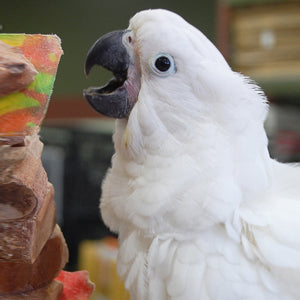 Umbrella Cockatoo Parrot