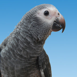 Timneh African Grey Parrot