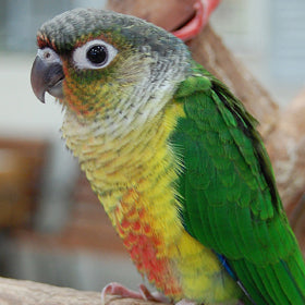 Yellow Sided Green Cheek Conure Parrot