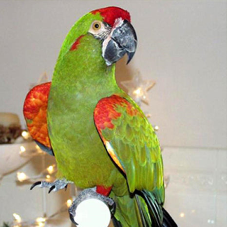 Red Fronted Macaw