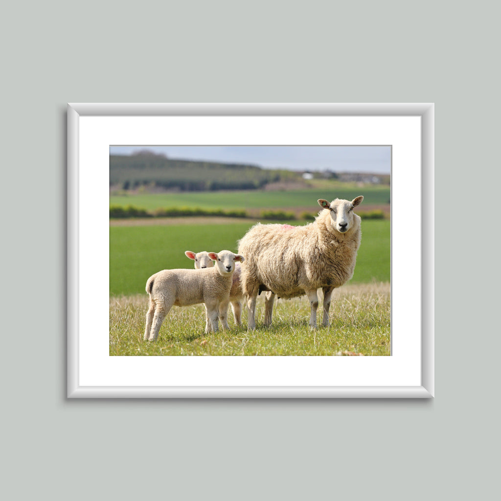 8x6 Mounted Print - Sheep Family