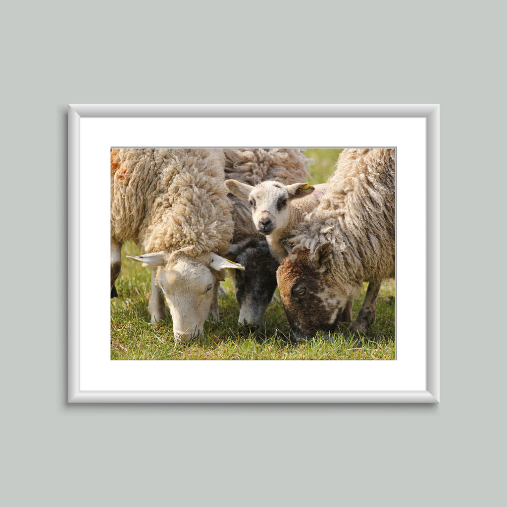 8x6 Mounted Print - Ewes & Lamb