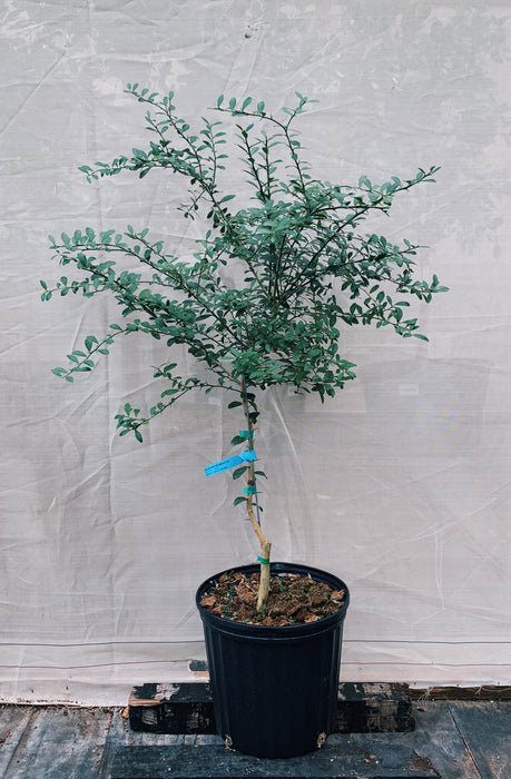 Finger Lime Australian Tree 3 Gallon