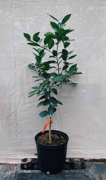 Blood Budd Orange Tree 3 Gallon