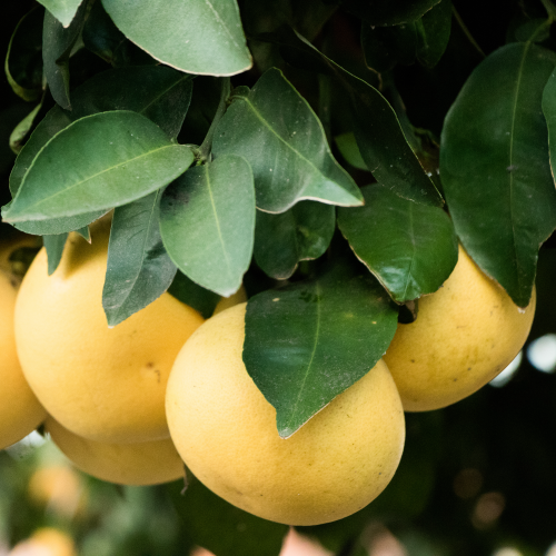 Duncan Grapefruit Tree