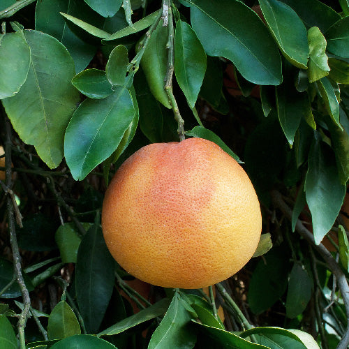 Flame Red Grapefruit Tree