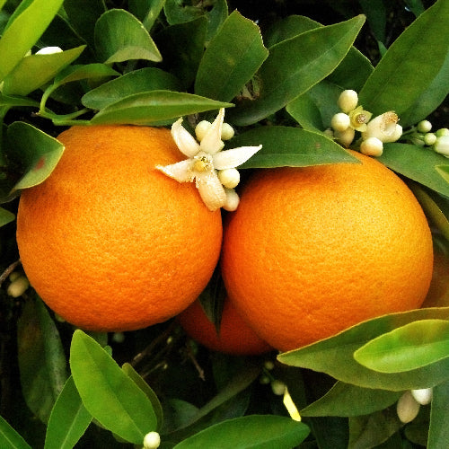 Hamlin Orange Tree For Sale